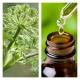 Aceite Esencial de Angélica (Absoluto Diluido)