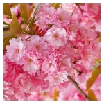 Esencia de Cerezo Japonés