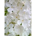 Esencia de Lilas Blancas de Persia