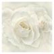 Esencia de Rosas Blancas de Damasco