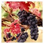 Extracto de Viña Roja 1:10 BIO