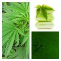 Aceite de Cáñamo (Cannabis)