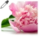 Extracto de Paeonia Albiflora 1:10 BIO