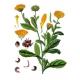 Caléndula Flores